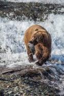 Bear at McNeil Falls with Fish
